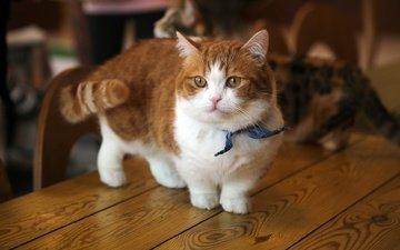 кот, мордочка, усы, кошка, взгляд, котенок, стол, рыжий, бантик