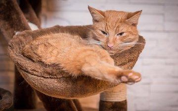 кот, мордочка, усы, кошка, взгляд, лежит, рыжий