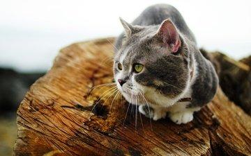 кот, мордочка, усы, кошка, взгляд, сидит, бревно