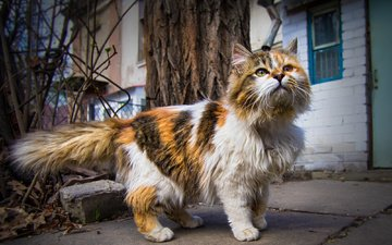 cat, muzzle, mustache, look, street, house, animal