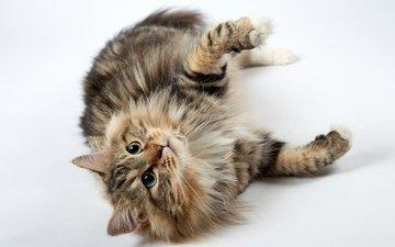 кот, мордочка, усы, кошка, взгляд, лапки