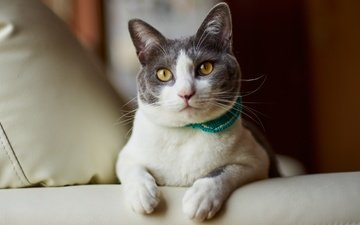 cat, muzzle, mustache, look, lies, collar, bed, pillow, yellow eyes