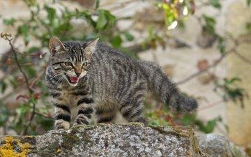 cat, muzzle, mustache, look, aggressive