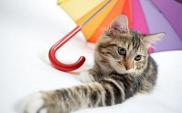 кот, мордочка, усы, кошка, взгляд, зонтик, лапка