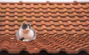 кот, мордочка, усы, кошка, взгляд, крыша, черепица