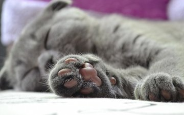 кот, мордочка, усы, кошка, лапа, британец