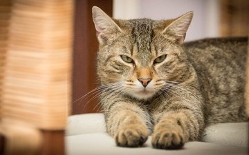 cat, muzzle, mustache, paws, look, lies