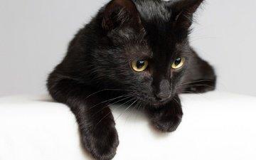 кот, мордочка, усы, кошка, взгляд, черная