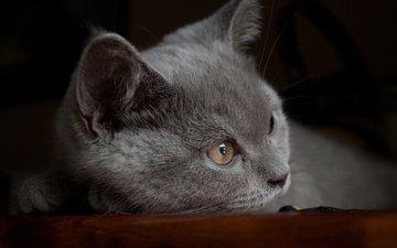 кот, мордочка, усы, кошка, взгляд, серый