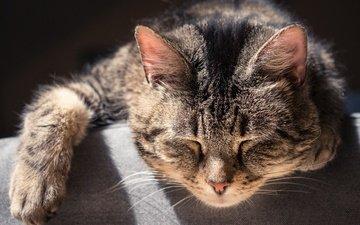 кот, мордочка, усы, кошка, сон