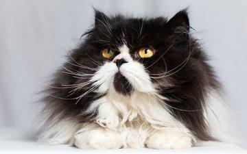 кот, мордочка, усы, кошка, взгляд, пушистая