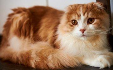 кот, мордочка, кошка, взгляд, рыжая, красавица, милая, красотка, хвост, пушистая, шотландская, вислоухая, желтые глаза