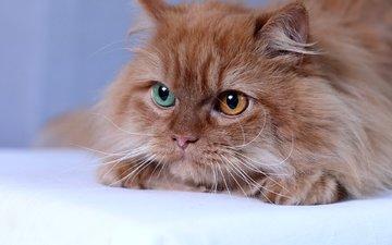 глаза, кот, мордочка, кошка, взгляд, рыжая, пушистая