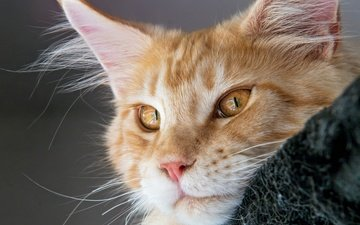 cat, muzzle, mustache, look, red, maine coon