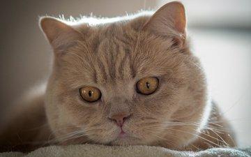 cat, muzzle, mustache, look, british shorthair