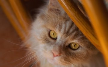 кот, мордочка, усы, кошка, взгляд, рыжий кот