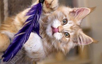 кот, мордочка, усы, кошка, взгляд, перо, мейн-кун