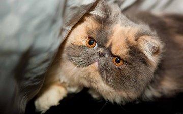 кот, мордочка, усы, кошка, взгляд, перс