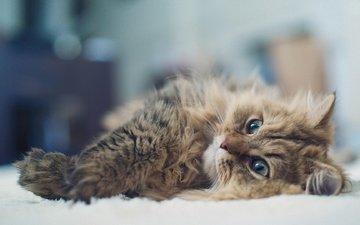 кот, мордочка, усы, кошка, взгляд, пушистый, лежит