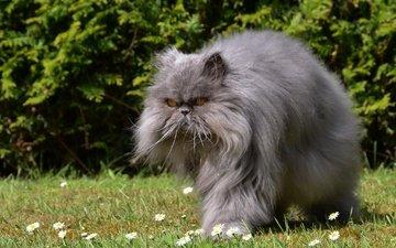 цветы, трава, кот, мордочка, усы, кошка, взгляд, пушистый