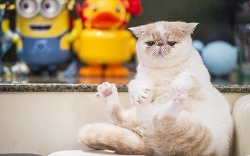 кот, мордочка, кошка, взгляд, толстяк, экзот, экзотическая короткошёрстная кошка