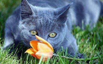 трава, цветок, кот, мордочка, усы, кошка, взгляд, тюльпан, британец