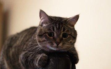 кот, мордочка, усы, кошка, взгляд, комната, кресло