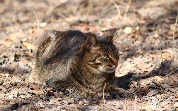 кот, мордочка, усы, кошка, взгляд, сухие листья