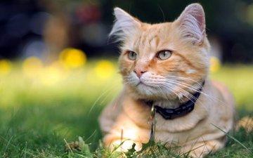 трава, кот, мордочка, усы, кошка, взгляд
