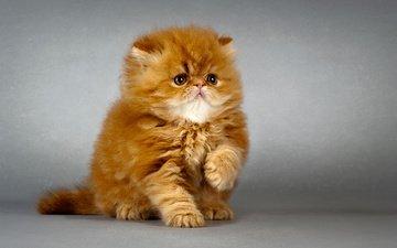 кот, мордочка, усы, кошка, взгляд, котенок, лапка