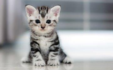 котенок, маленький, пушистик