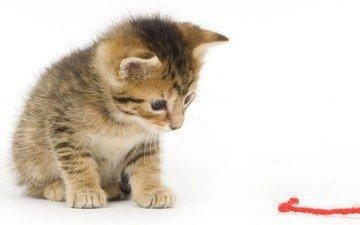 кот, мордочка, усы, кошка, взгляд, котенок, нитка