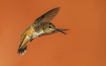 крылья, птица, клюв, колибри, охристый колибри
