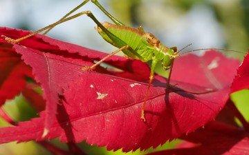 природа, листья, насекомое, кузнечик