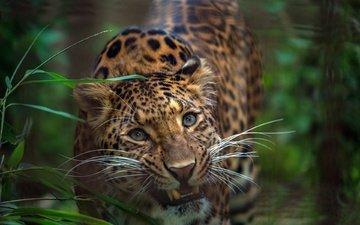 морда, трава, взгляд, леопард, хищник, зубы, дикая кошка