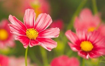 flowers, petals, bokeh, kosmeya