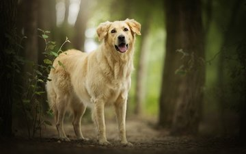 forest, each, bokeh, golden retriever, amara