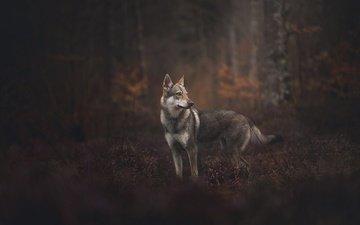 лес, собака, боке, чехословацкая волчья, чехословацкий влчак, чешский волчак
