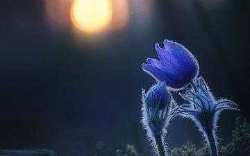 цветы, лес, закат, макро, весна, анемоны, сон-трава, прострел