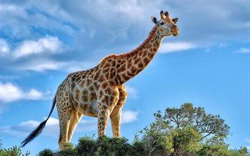 the sky, clouds, summer, africa, giraffe