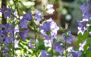 цветы, лето, стебли, колокольчики, сиреневые