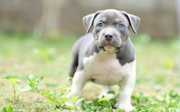 muzzle, summer, look, dog, puppy, each, blue-eyed, staffordshire bull terrier