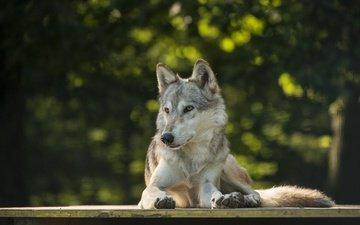 лежит, хищник, волк, боке, lakela