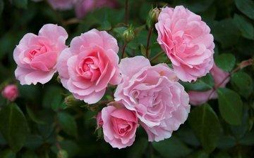 цветы, листья, роза, лепестки, сад, бутон, куст