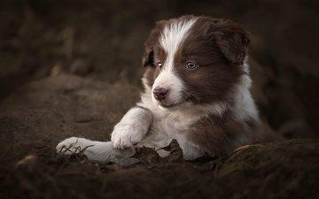 leaves, dog, puppy, animal, the border collie, claudio piccoli