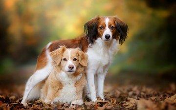 листья, взгляд, собаки, мордочки, размытие, коикерхондье, бретонский эпаньоль, эпаньоль