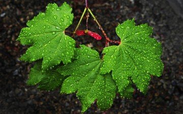 nature, leaves, drops, green, rain, maple