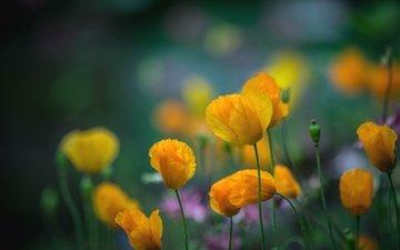 цветы, лепестки, маки, луг, стебли, желтые