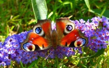 макро, насекомое, бабочка, крылья, цветочки, павлиний глаз