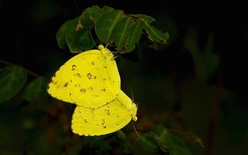 листья, макро, крылья, насекомые, бабочки, желтые